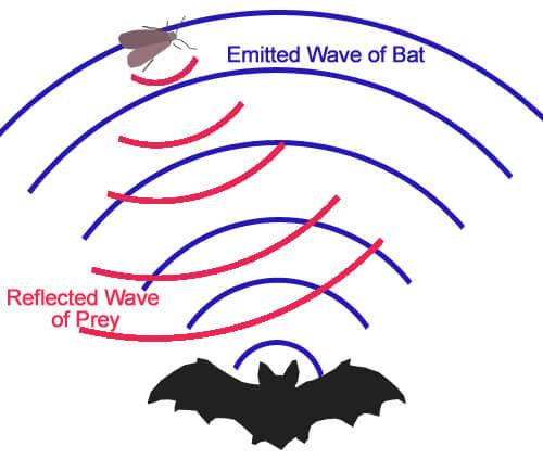 ultrasound frequency bat echolocation