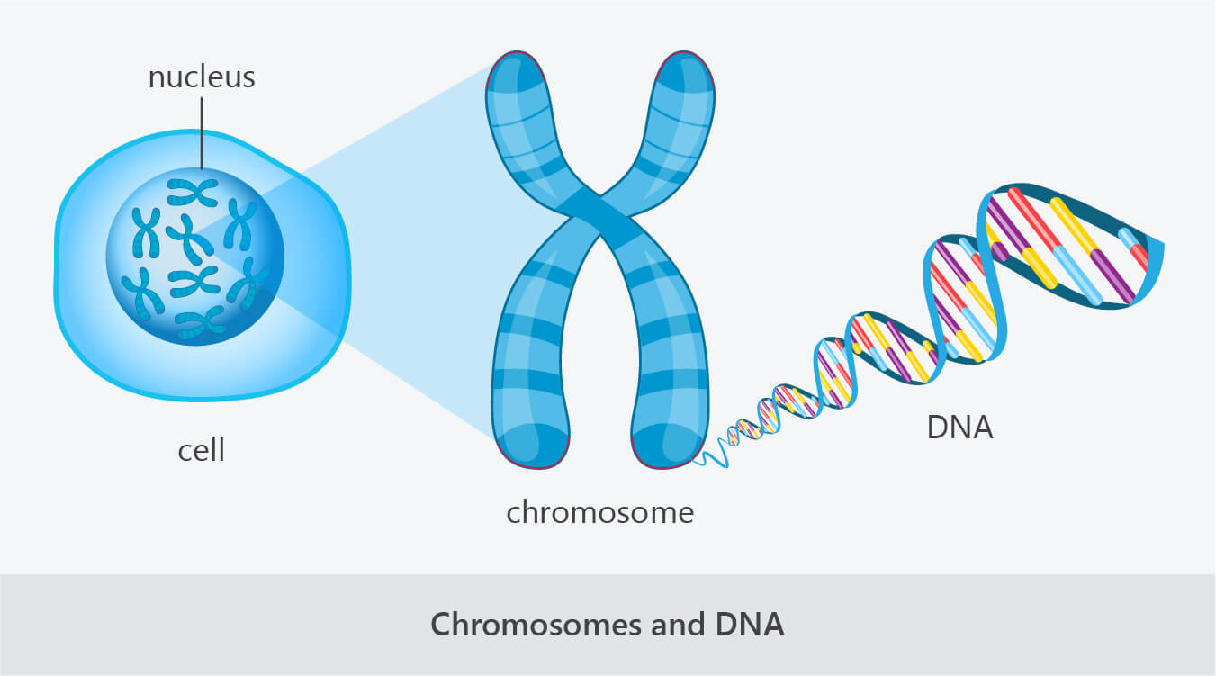 cell nucleus chromosome dna