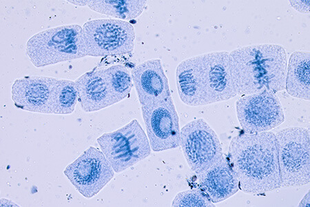 mitosis microscope slide