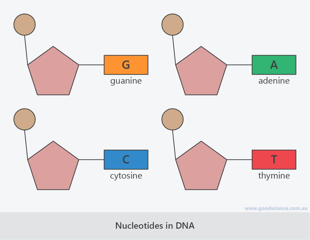 nucleotides bases dna