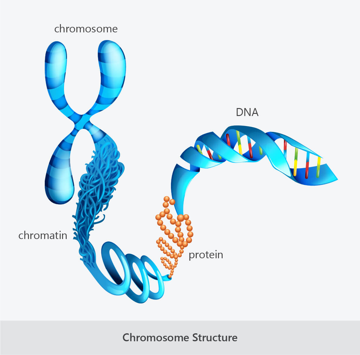 chromosome-structure-chromatin-protein-DNA