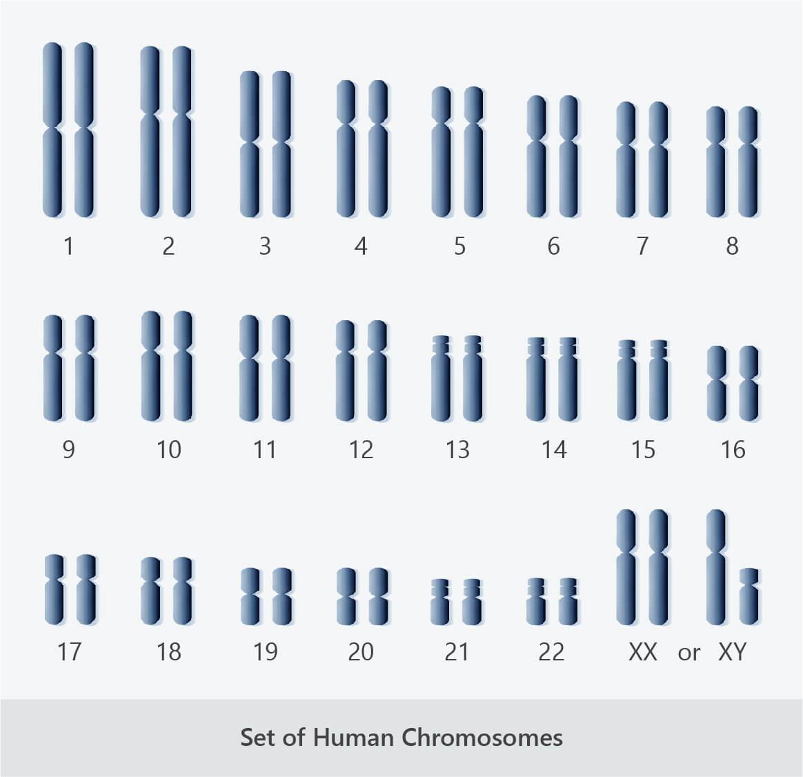 human karyotype autosomal sex chromosomes