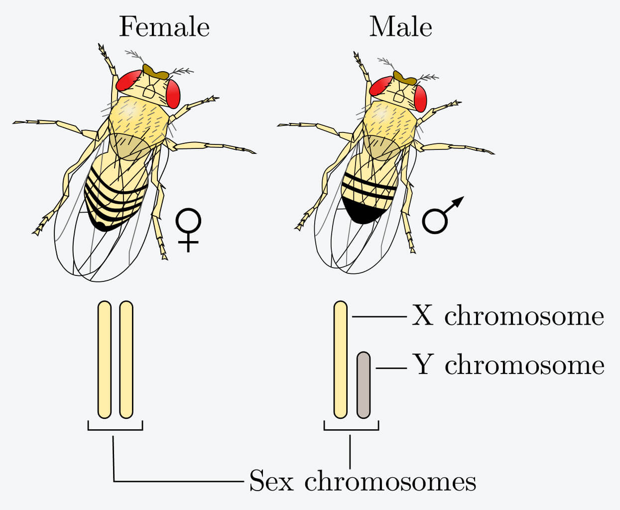 sex determination drosophila fruit flies