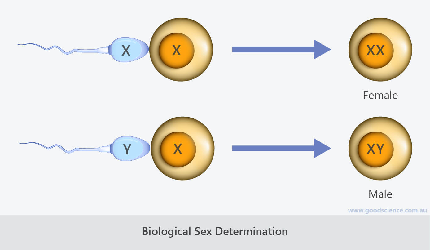 biological sex determination sperm egg