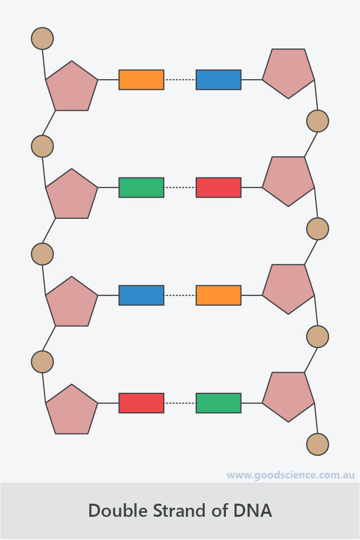 dna double strand