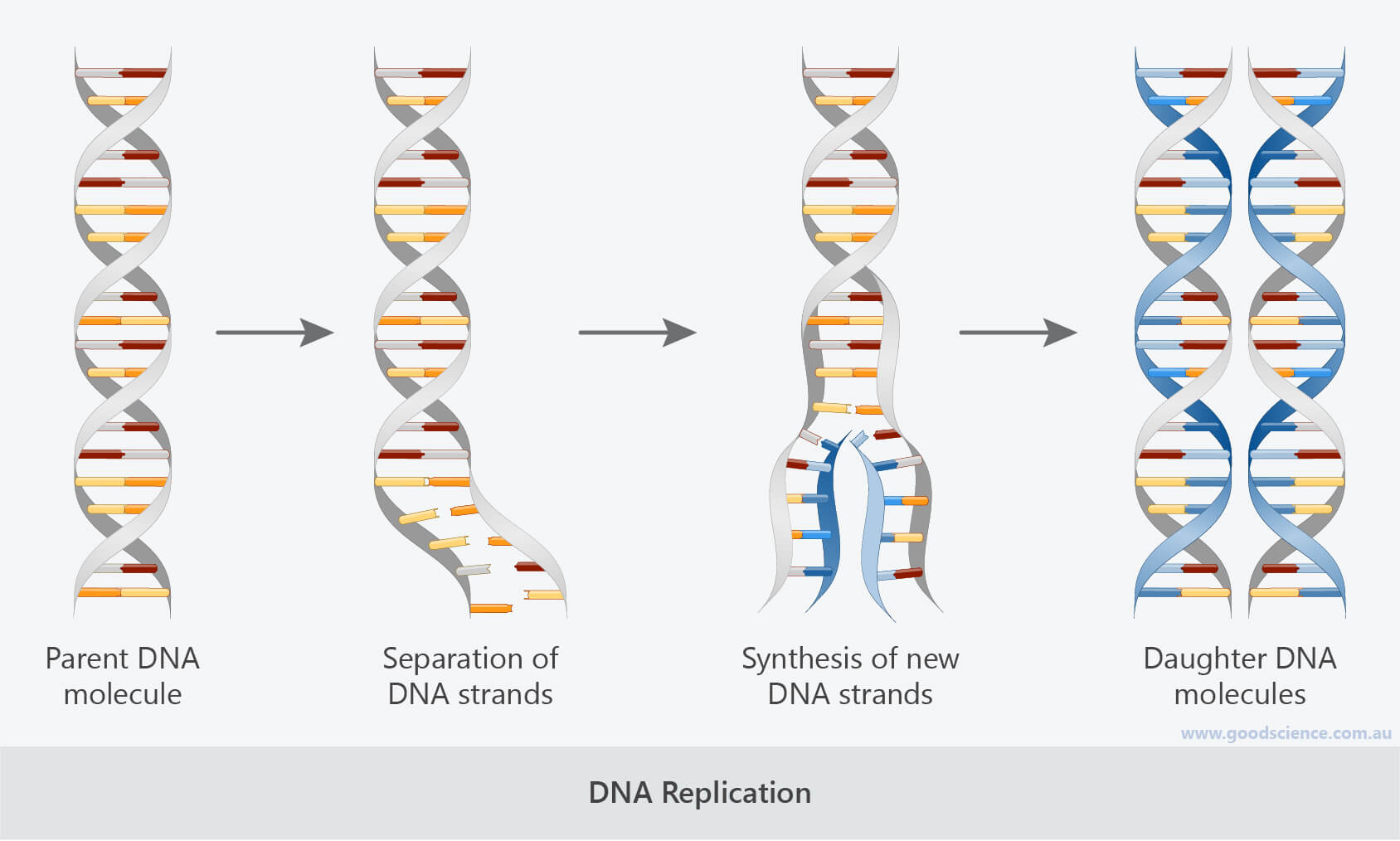 dna replication process