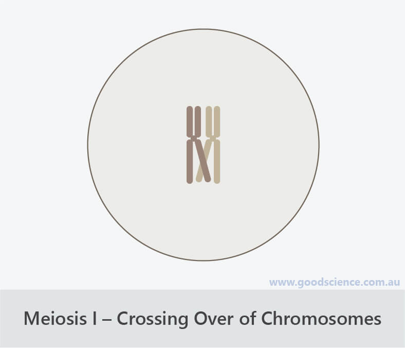 meiosis i crossing over of chromosomes prophase