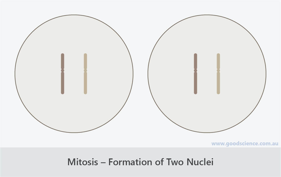 mitosis formation of two nuclei telophase