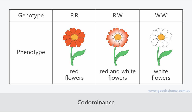 codominance genotype phenotype