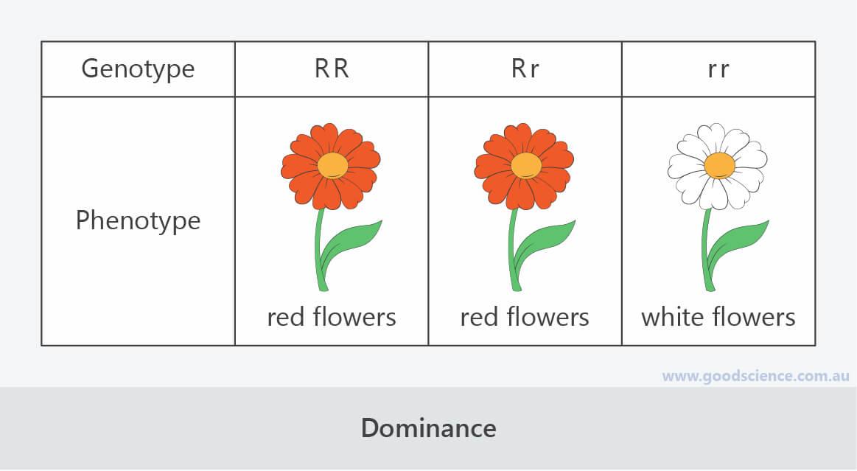 dominance genotype phenotype