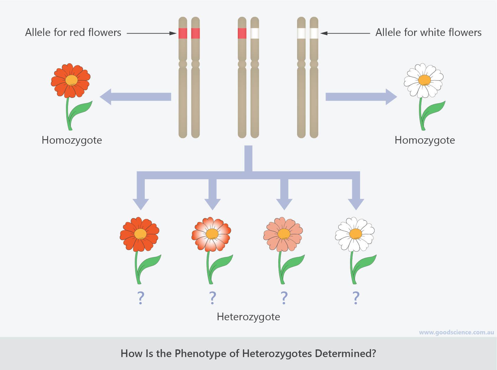 dominance incomplete dominance codominance genotype phenotype