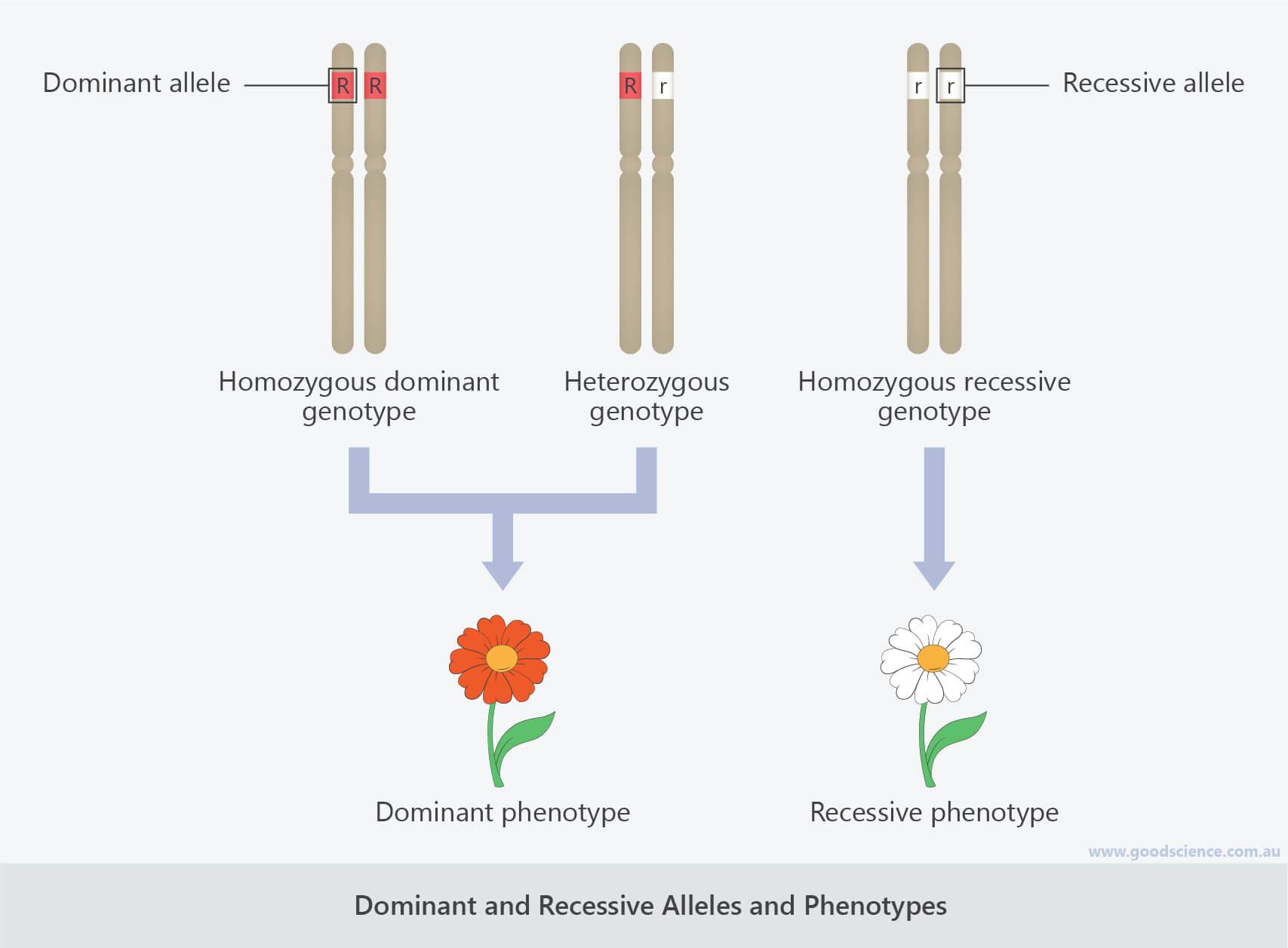 dominant recessive alleles phenotypes