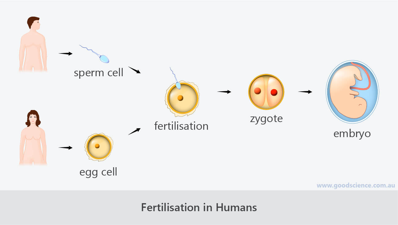 fertilisation zygote embryo