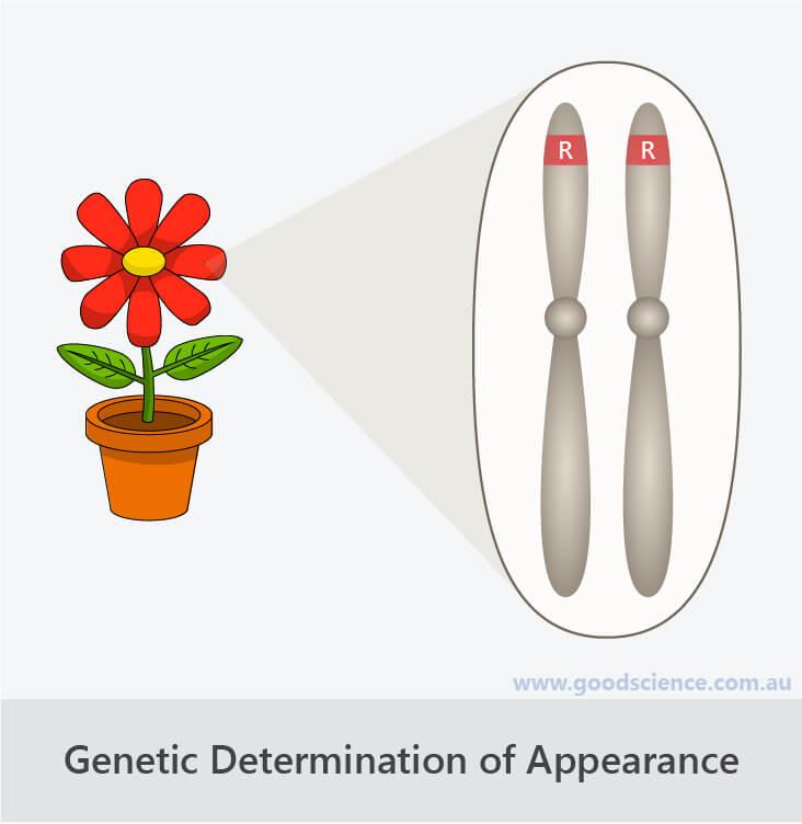 genotype phenotype chromosomes