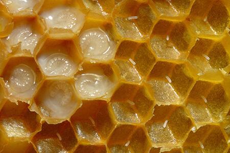 honeybee reproduction parthenogenesis