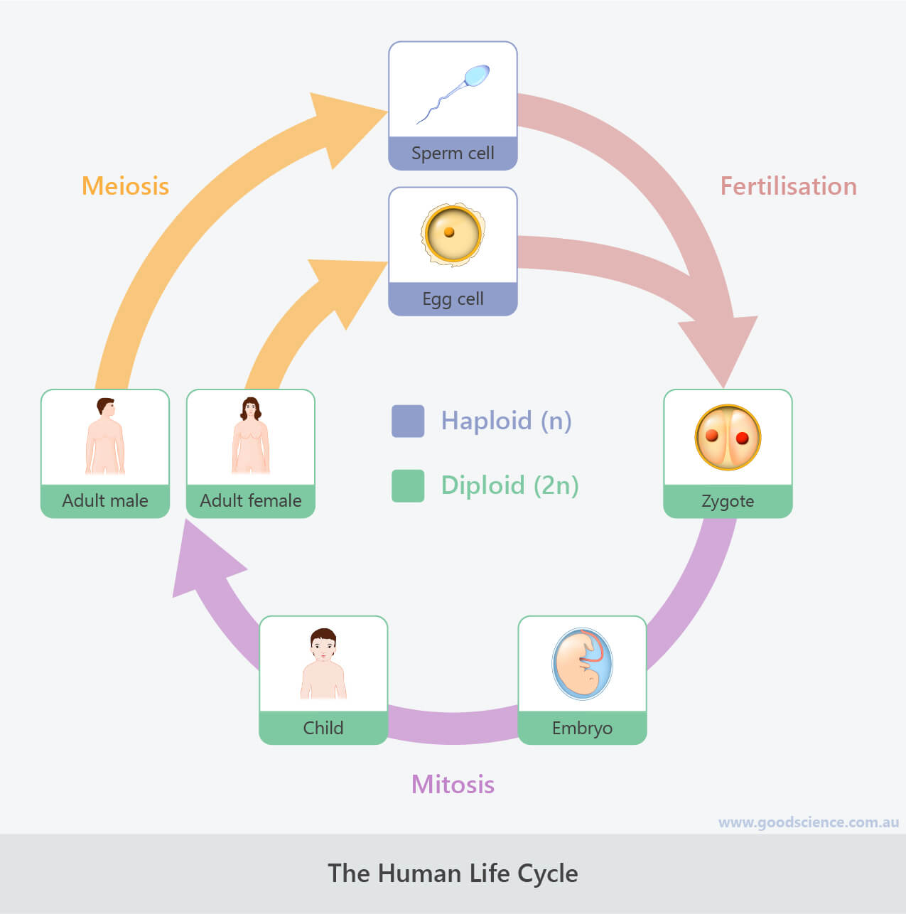 human biological life cycle
