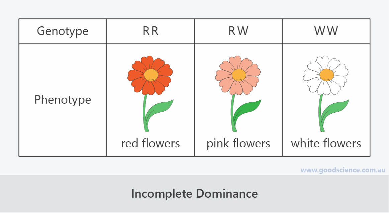 incomplete dominance genotype phenotype