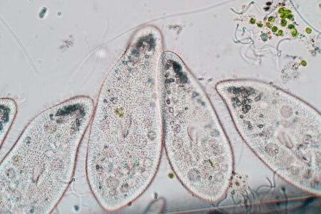 paramecium asexual reproduction