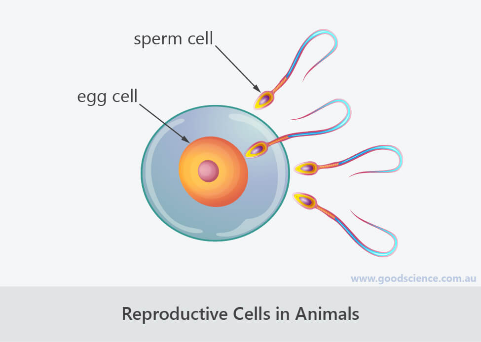 reproductive cells in animals