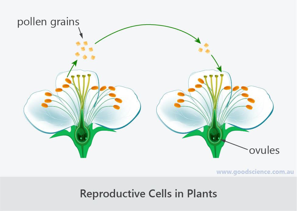 reproductive cells in plants