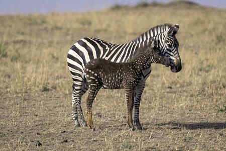 harmful deleterious mutation polka dot zebra
