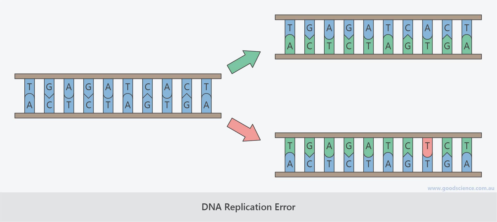 spontaneous mutation dna replication error