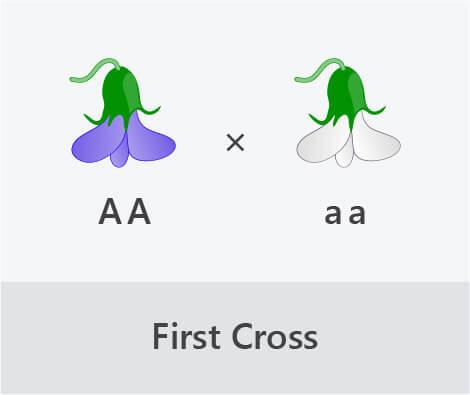 monohybrid cross first cross