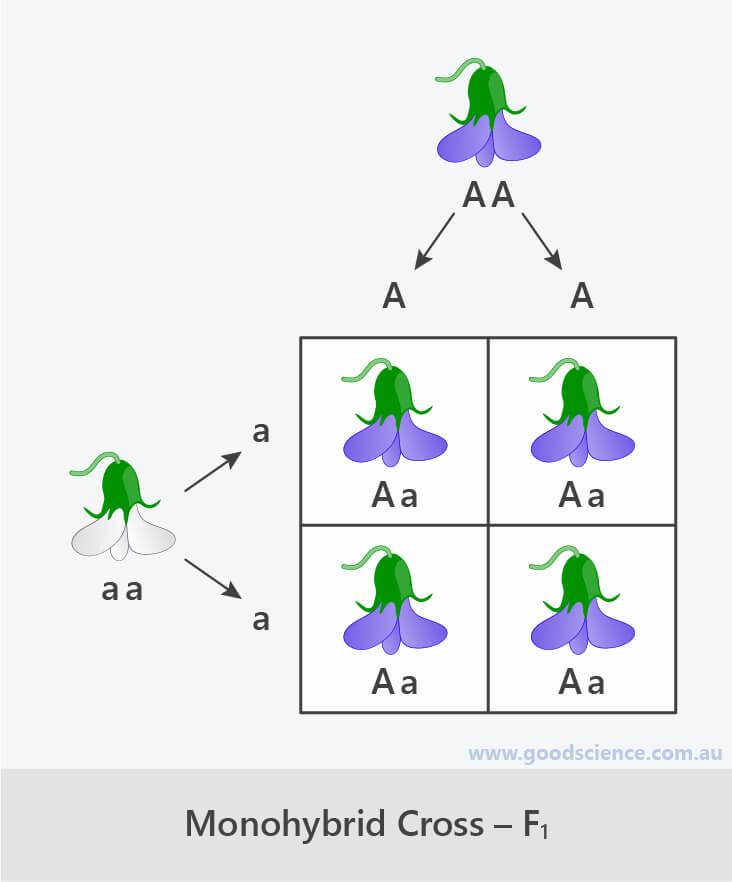 monohybrid cross punnett square f1
