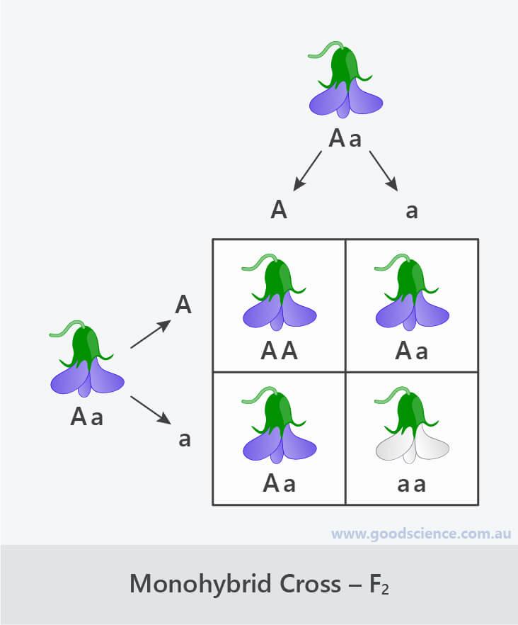 monohybrid cross punnett square f2