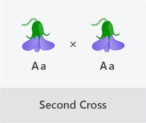 monohybrid cross second cross