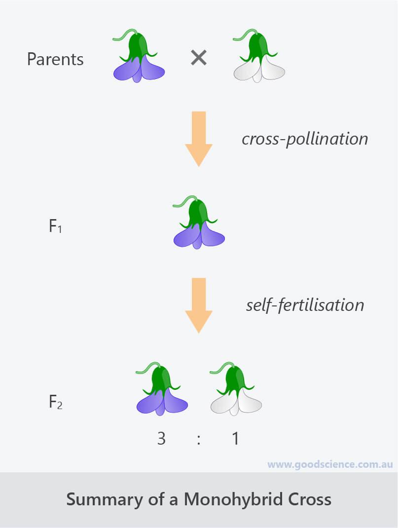 mendel monohybrid cross summary