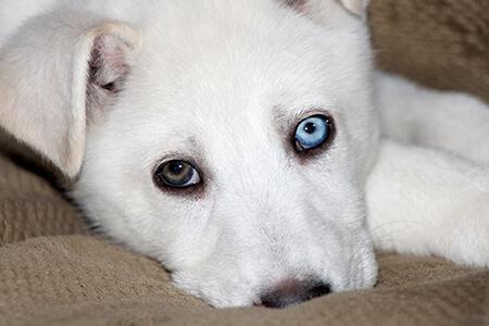 neutral mutation heterochromia
