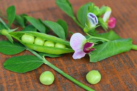 peas mendel genetics