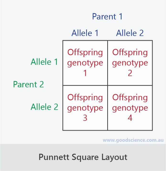 punnett square layout