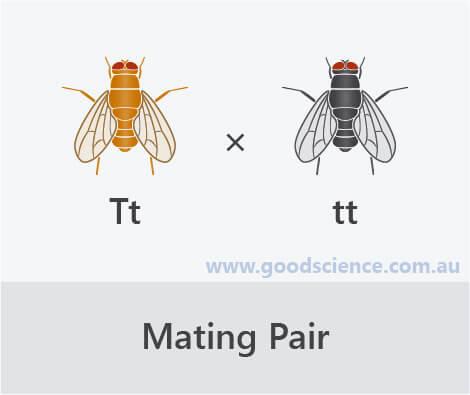 punnett square mating cross