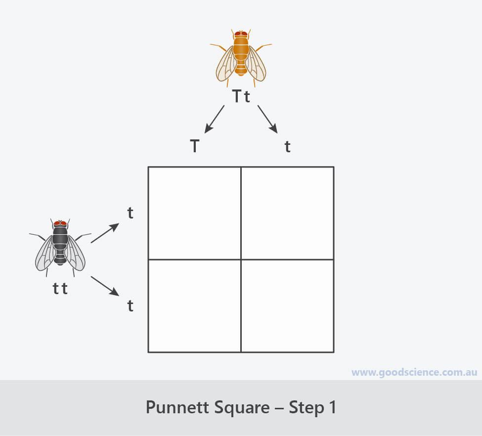 steps for completing a punnett square 1