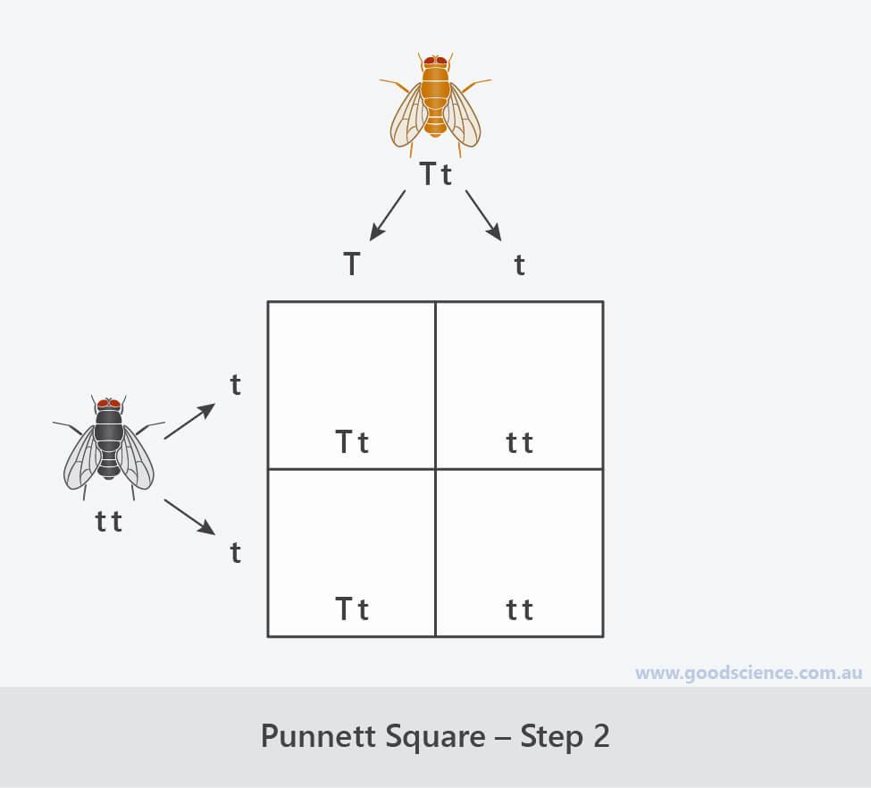 steps for completing a punnett square 2