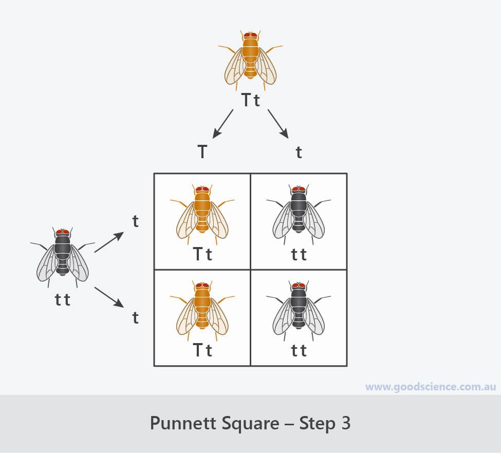 steps for completing a punnett square 3