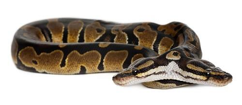 genetic mutation two-headed snake