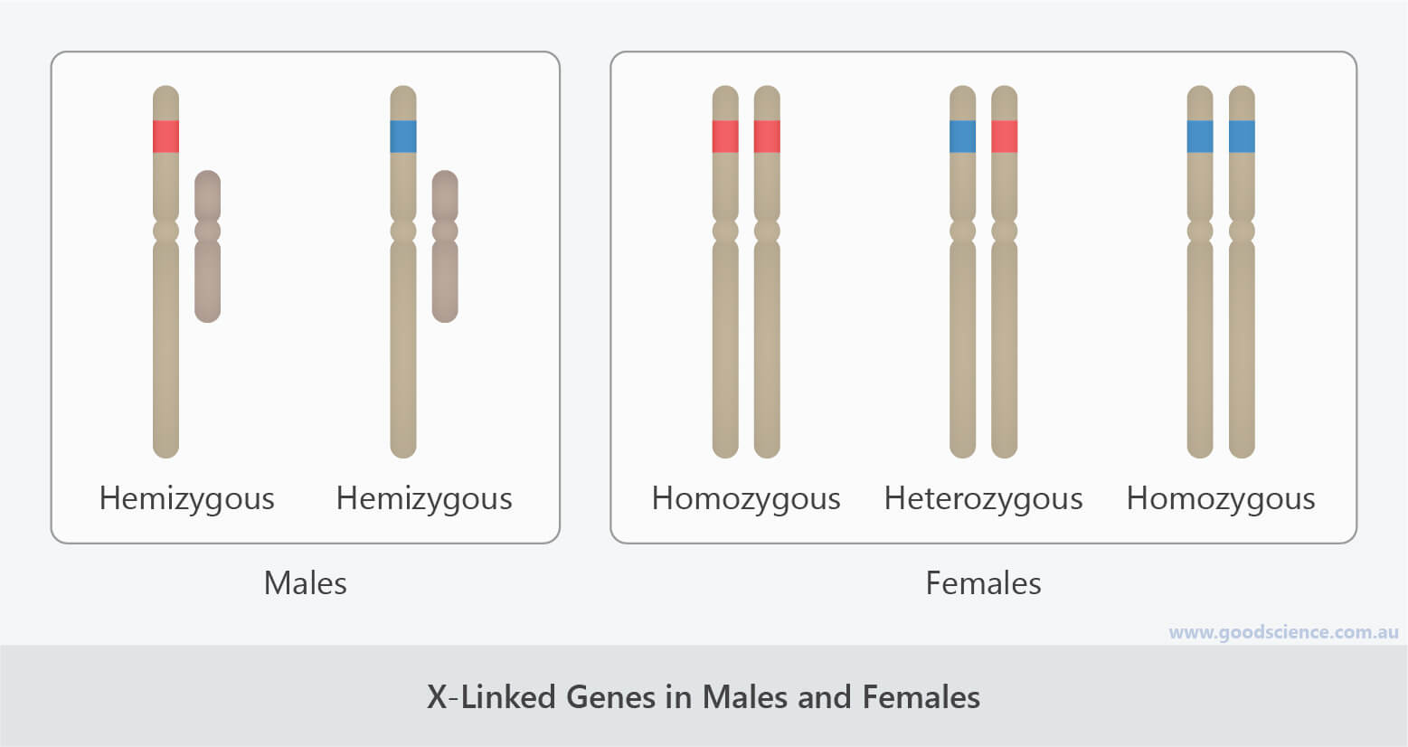 x-linked genes in males and females