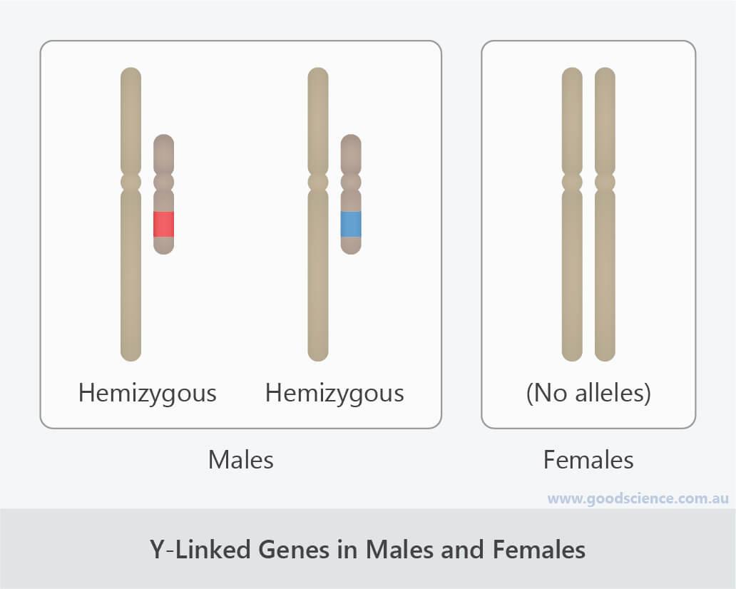 y-linked genes in males and females