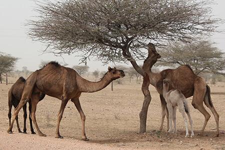 adaptive potential feral camels