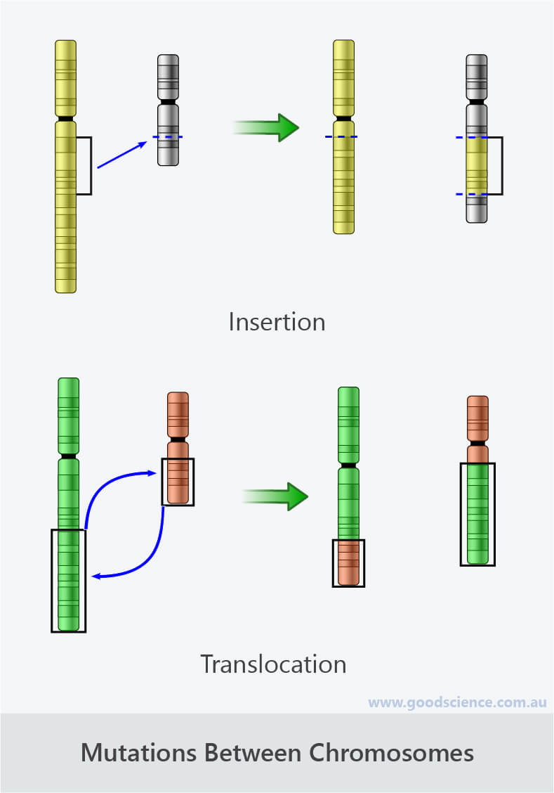 chromosomal mutations insertion translocation