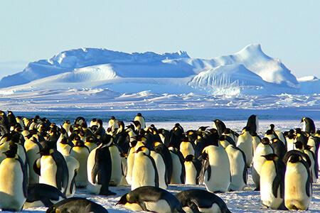 genetic variation emperor penguins
