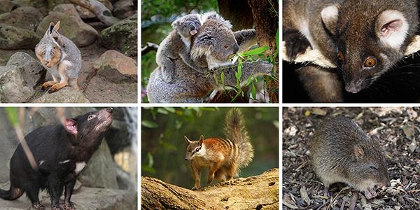 marsupial diversity