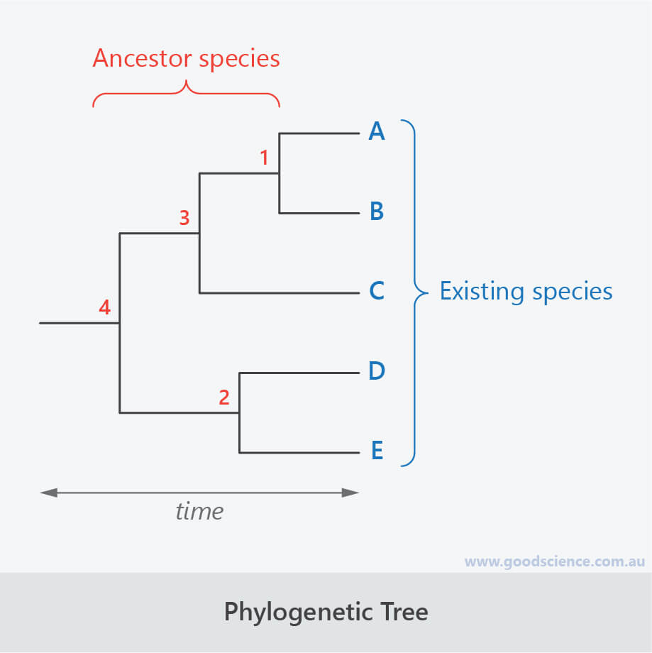 phylogenetic evolutionary tree layout