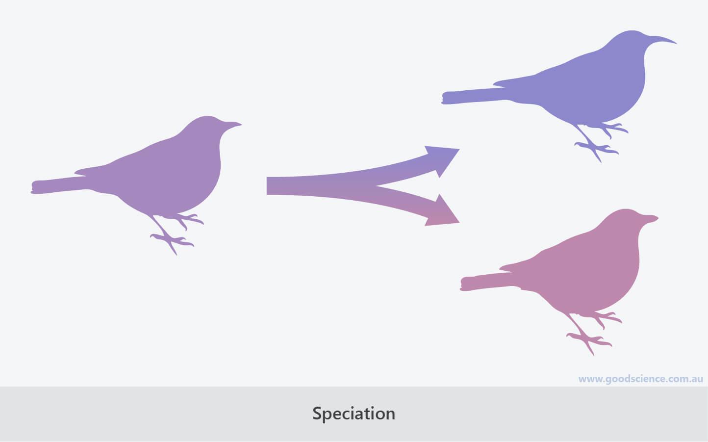 speciation evolution
