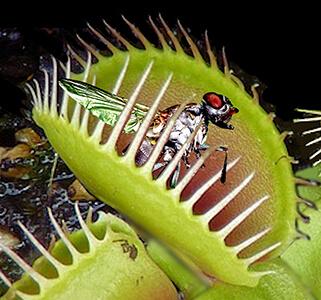 venus fly trap adaptation